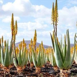 Aloe Vera für Naturkosmetik