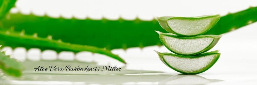 Heilpflanze Aloe Vera Barbadensis Miller, Aloe Vera Gel