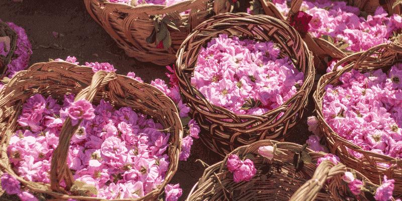 Herstellung von Rosenöl Ernte