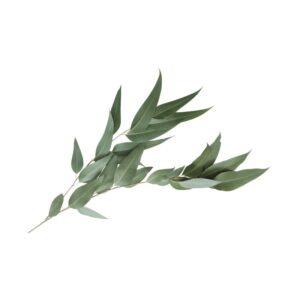 Bio Eukalyptus Öl ätherisch