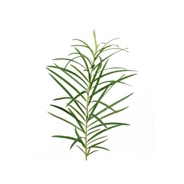 Teebaum Öl bio Teebaumöl